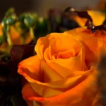 Les roses orange d'Athena