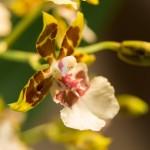Orchidée bicolore Arachné
