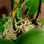 Orchidée blanche d'Orchis