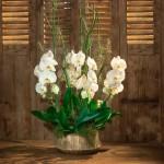 Orchidée blanche Femina