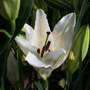 Bouquet de lys blancs - Gaïa