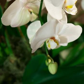 Orchidée blanche Agapé
