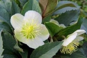 Bouquet de fleurs - hellébore