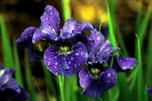 Bouquet de fleurs - iris