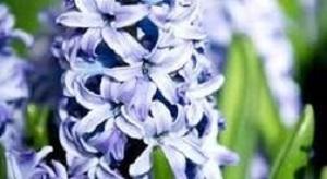 Bouquet de fleurs - jacinthe