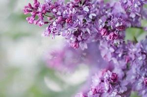 Bouquet de fleurs - lilas