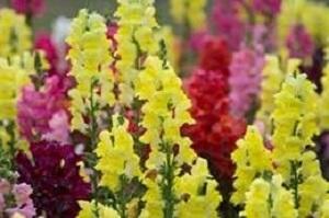 Bouquet de fleurs - muflier