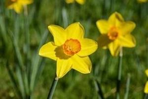 Bouquet de fleurs - narcisse