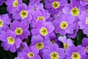 Bouquet de fleurs - pensée
