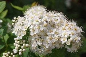 Bouquet de fleurs - viburnum